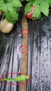 生姜の芽H28・6・19